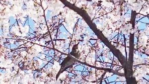 名古屋の花見
