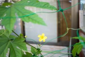 ゴーヤの花2